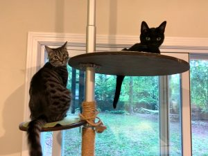 A recent photo of Pixel and Chaucer on the cat tree.